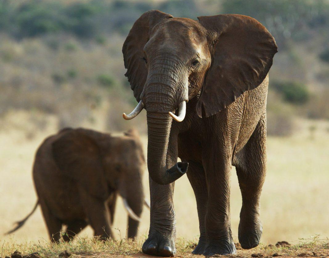 Two elephants (© AP Images)