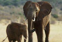 Dos elefantes (© AP Images)