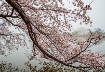 شکوفه های گیلاس و بنای یادبود جفرسون. (عکس از آسوشیتدپرس)