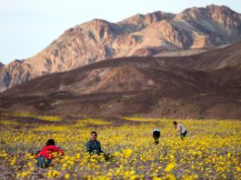 Death Valley in bloom (© AP Images)