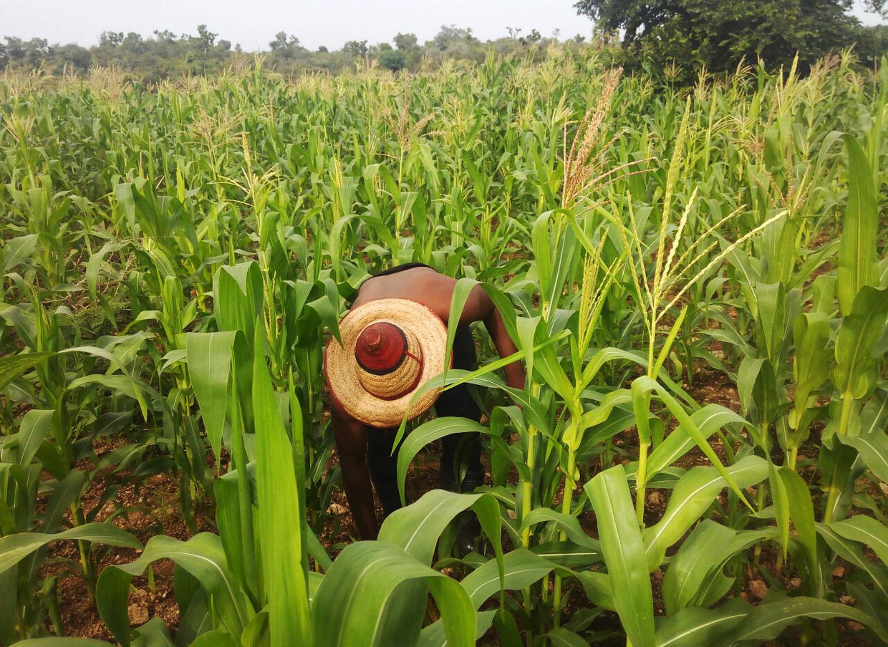 Agricultor con sombrero de paja inclinado sobre maizal (AUN-API)
