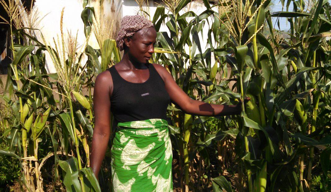 Mujer de pie junto a plantas de maíz (AUN-API)