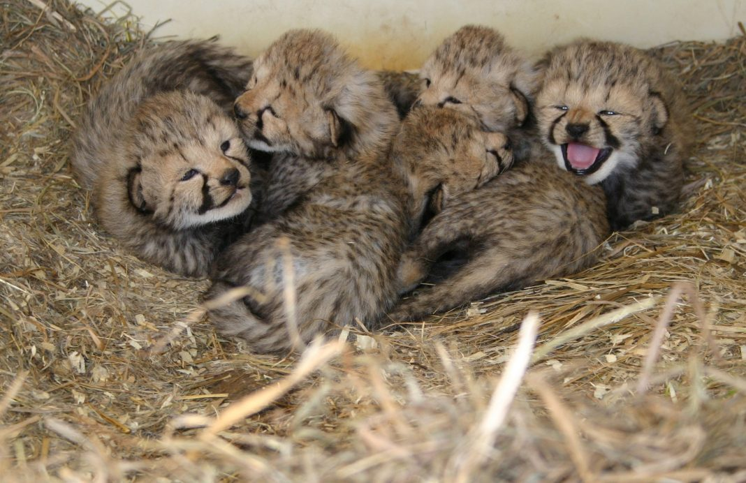 Group of cheetah cubs in straw bed (Courtesy of Smithsonian Conservation Biology Institute)