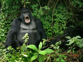 Gorilla with open mouth in Virunga National Park (© AP Images)