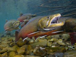 Trutas nadam em córrego (Wade Fredenberg/Serviço de Vida Selvagem e Pesca dos EUA)