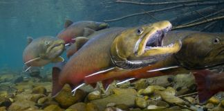 Trout swimming in stream (Wade Fredenberg/U.S. Fish & Wildlife Service)