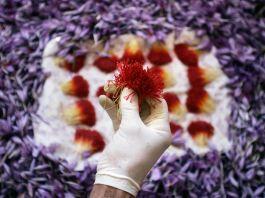 Mão usando luva branca segurando açafrão (© AP Images)