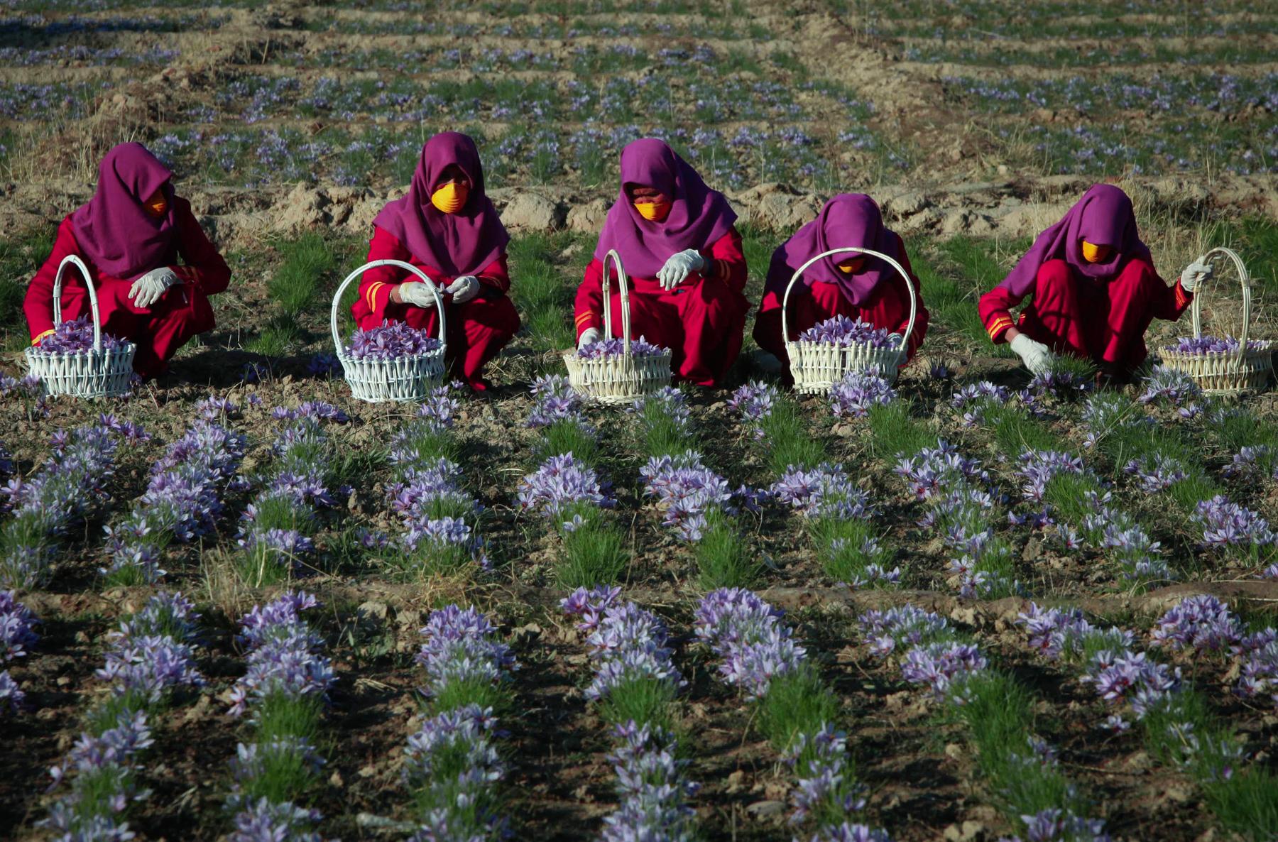Mulheres colocam flores de açafrão em cestas (© AP Images)