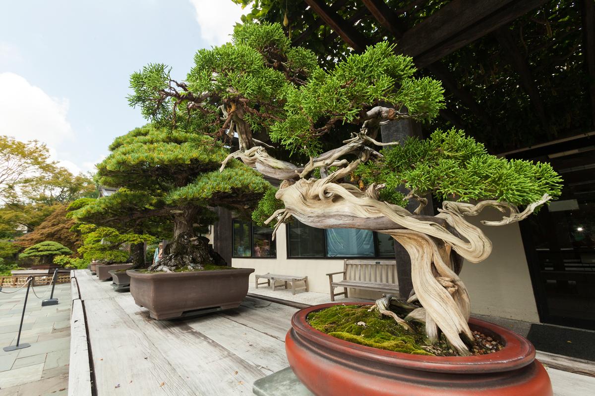 Fila de bonsáis (Arboreto Nacional de EE.UU./Stephen Ausmus)