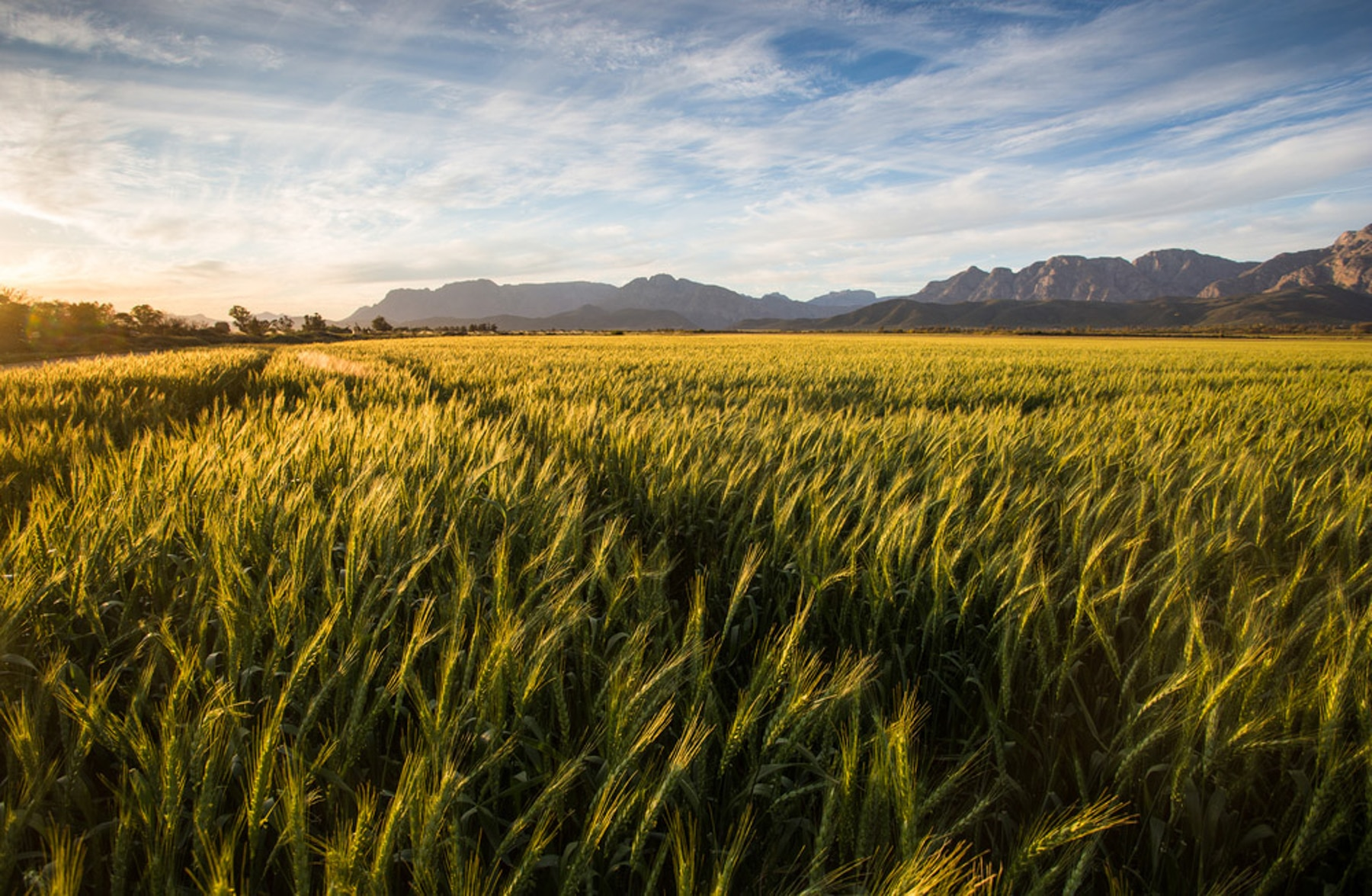 Wheat field with mountains in distance (Shutterstock)