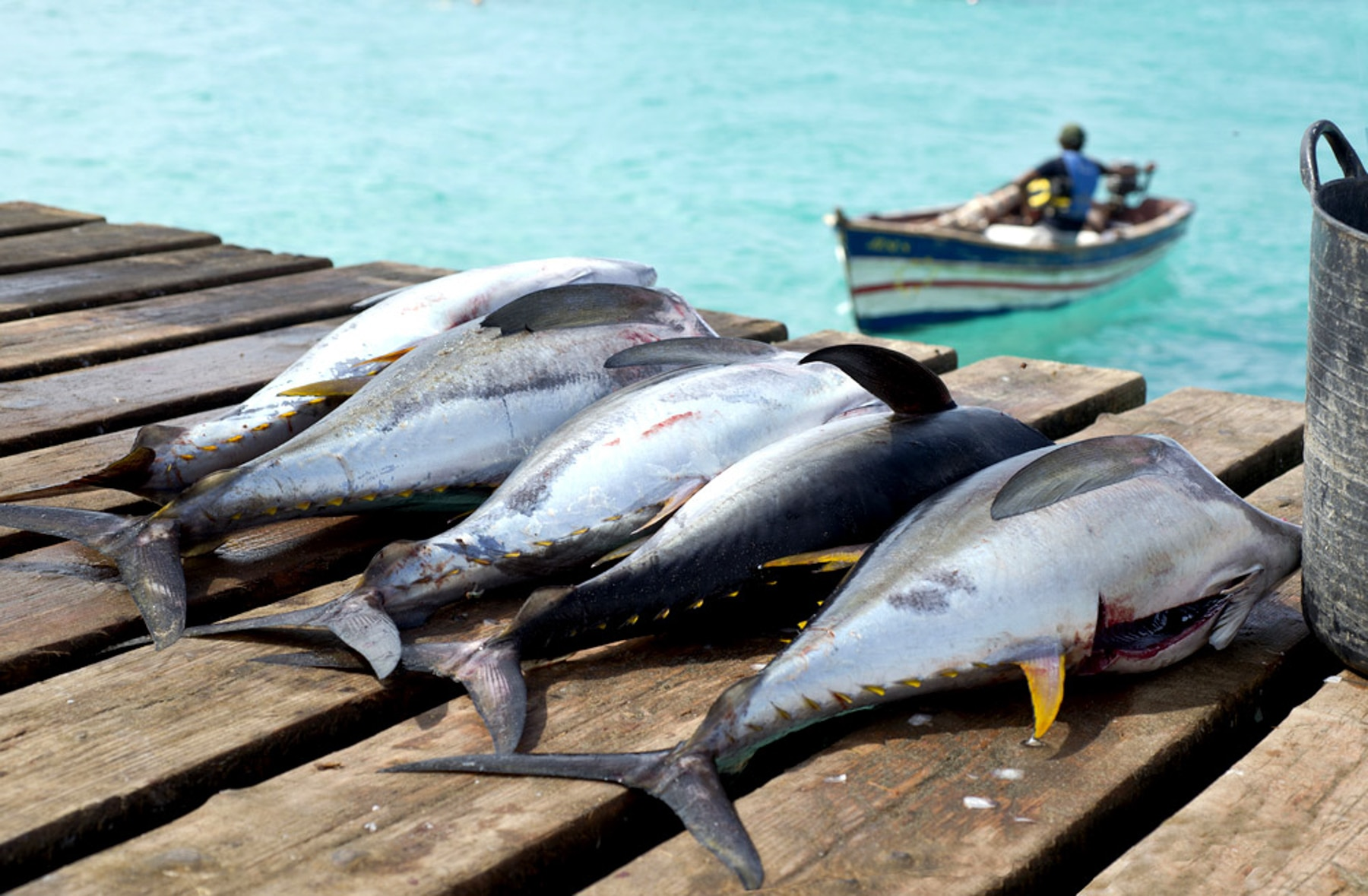 Tuna lying on dock and small boat in water (Shutterstock)