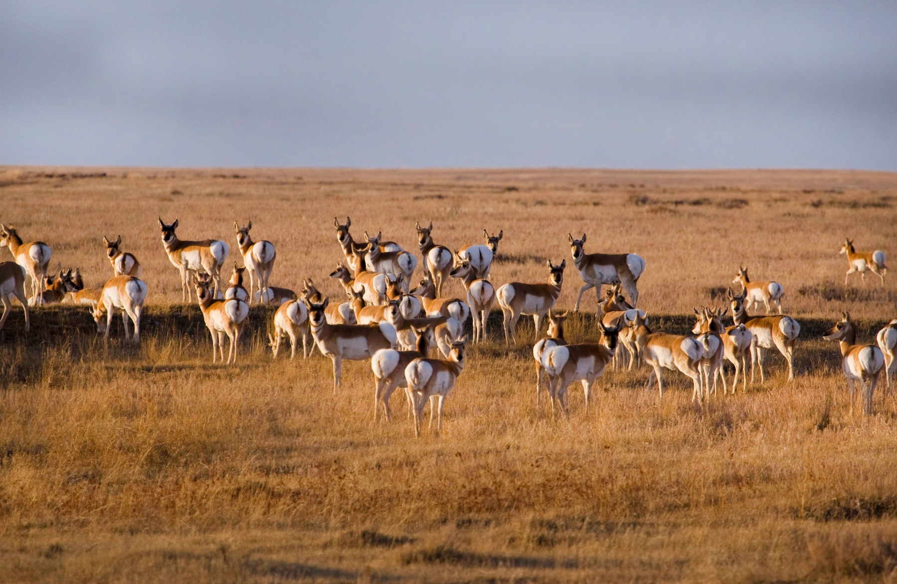 Pronghorn herd in grassland (Dennis Lingohr/APR)