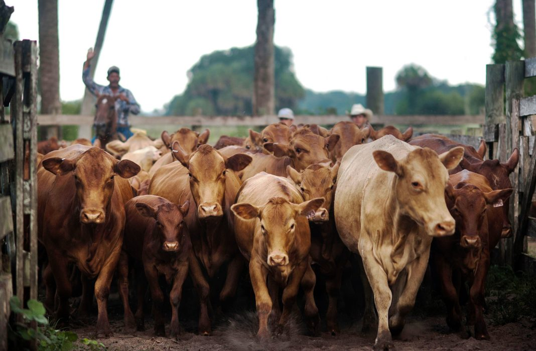 Cows herded through fenced area (© Bloomberg via Getty Images)