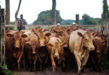 Rancher herding cattle (© Bloomberg via Getty Images)