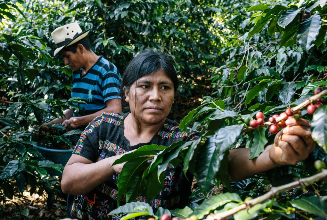Farmers picking coffee beans (Greg Kahn for USAID)