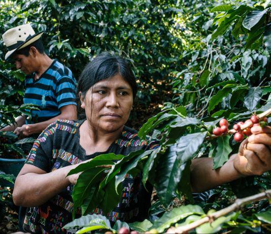 Agricultores colhem grãos de café (Greg Kahn para a Usaid)