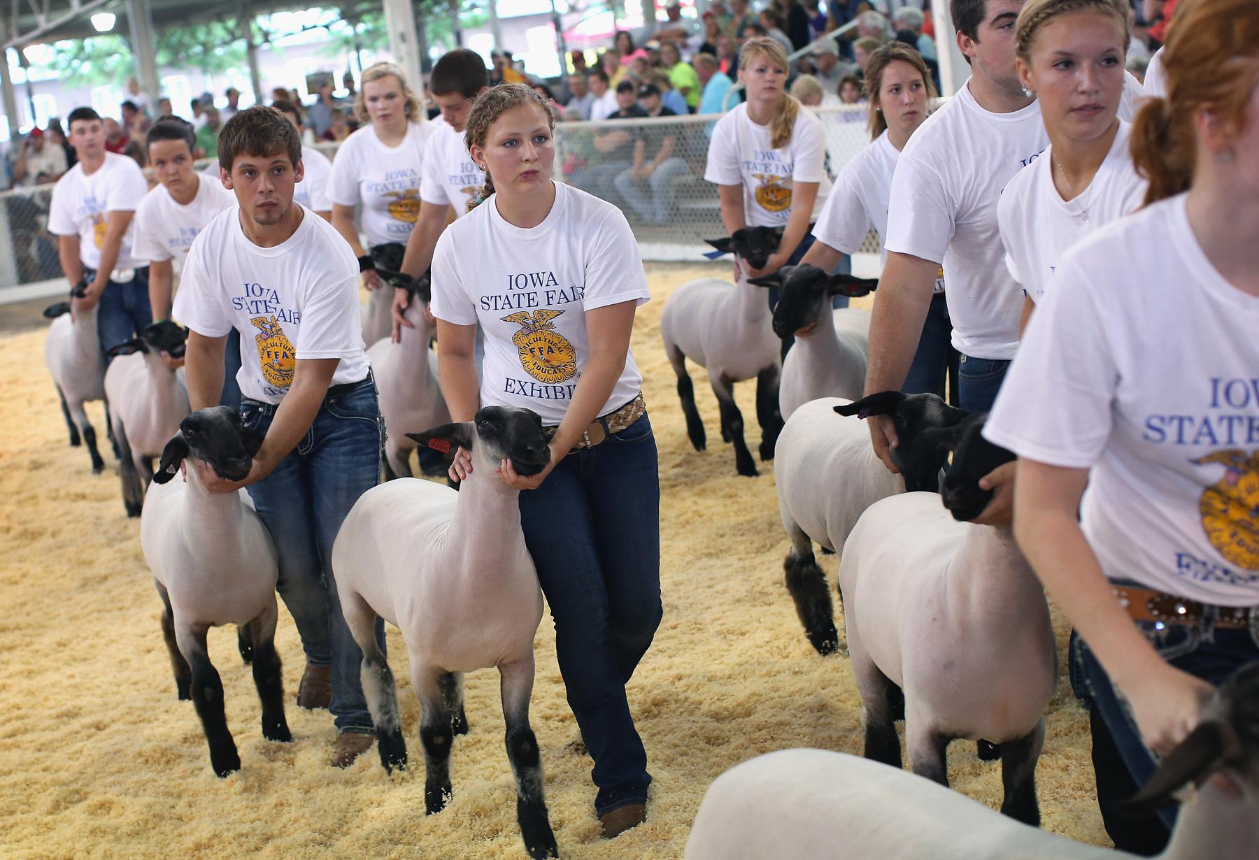 Des jeunes gens faisant défiler des moutons dans un enclos (© Getty Images)