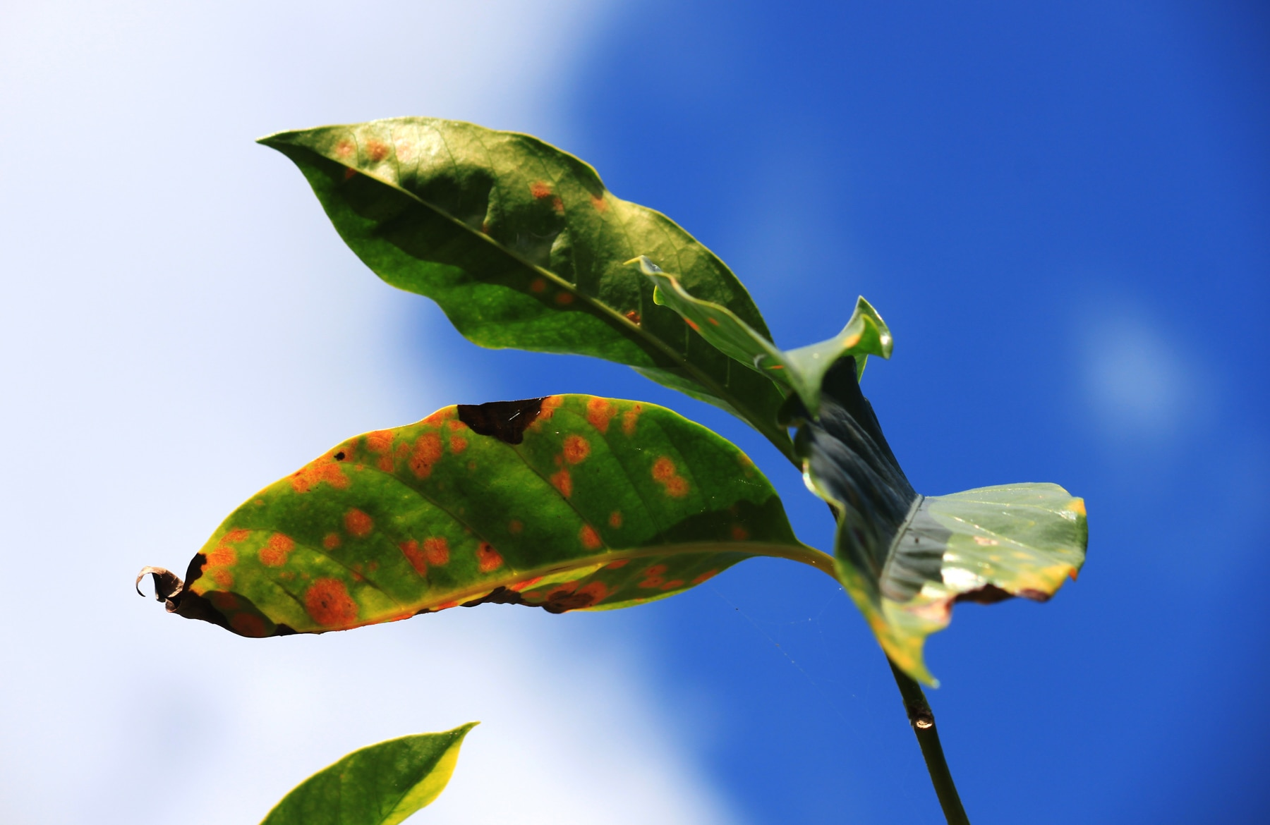 Discolored, spotty leaves against a blue sky (Root Capital)