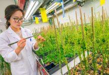 Une femme tenant la tige d'une plante d'une main et un bâtonnet de l'autre (Roy Kaltschmidt/Berkeley Lab)