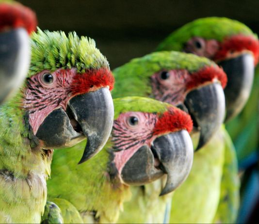 Five great green macaws (© AP Images)