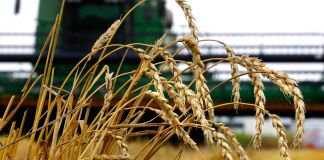 Wheat stalks in front of combine (© AP Images)
