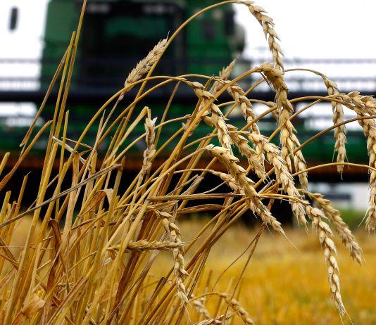 Talos de trigo em frente de colheitadeira (© AP Images)