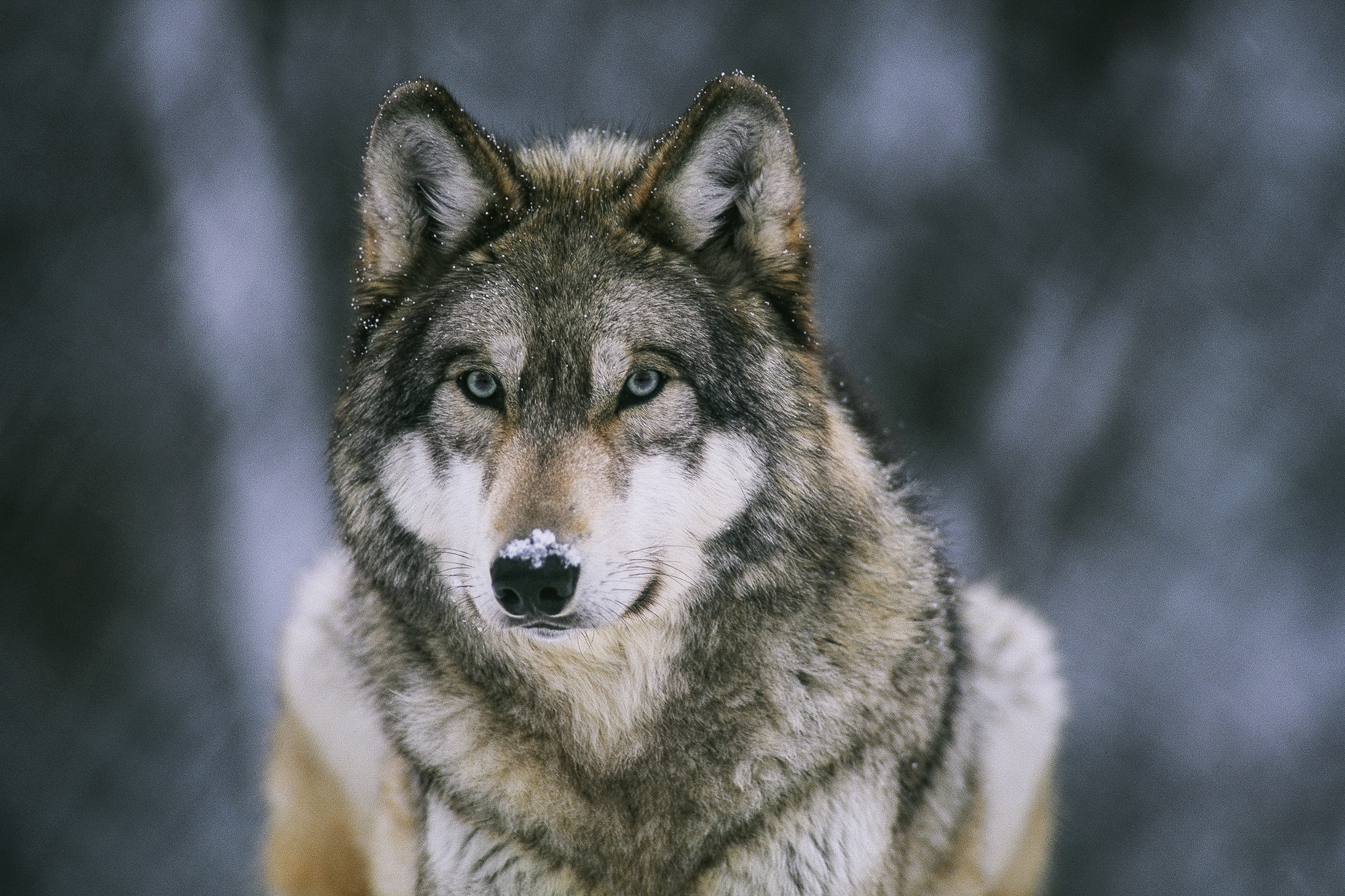 Close-up of gray wolf with snow on nose (© Joel Sartore(National Geographic Creative)