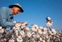 Farmer leaning over full-grown cotton plants (© Design Pics Inc/Alamy)
