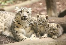 Leopardo de las nieves con tres crías (© Animal Press/Barcroft Images/Getty Images)
