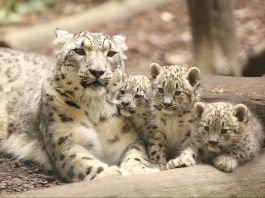 Snow leopard with triplets (© Animal Press/Barcroft Images/Getty Images)