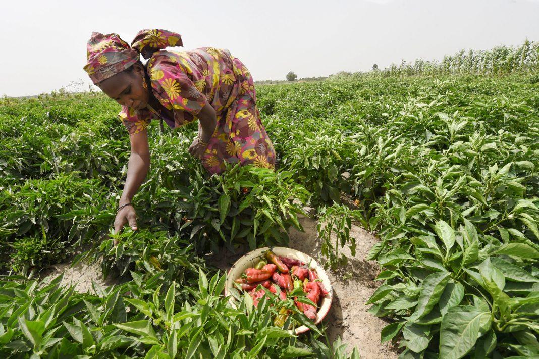Woman bending over farm crop picking vegetables (© Pius Utomi Ekpei/AFP/Getty Images)