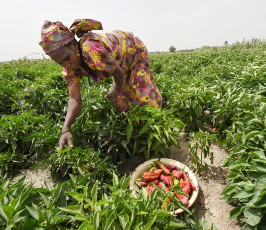 Woman bending over farm crop picking vegetables (© Pius Utomi Ekpei/AFP/Getty Images)