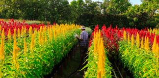 Farmer standing in field of yellow and red flowers in Vietnam (© Alamy)