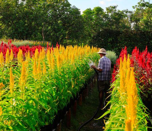 Agricultor de pé em plantação de flores amarelas e vermelhas no Vietnã (© Alamy)