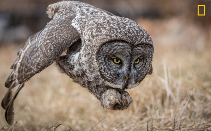Gray owl flying near ground (© Harry Collins/2017 National Geographic Nature Photographer of the Year)