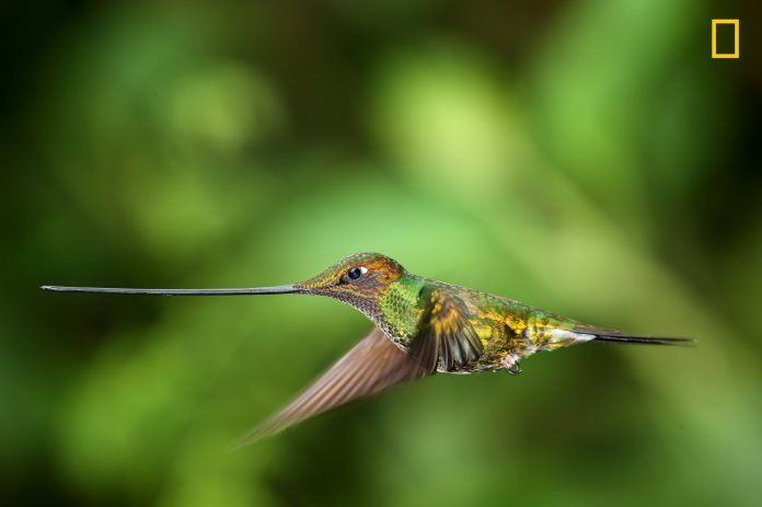 Close-up view of hummingbird in flight (© Sanjeev Bhor/2017 National Geographic Nature Photographer of the Year)