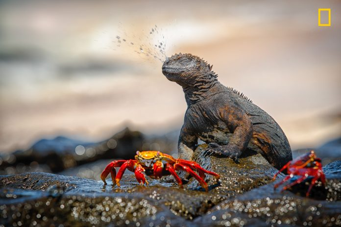 Iguana sneezing spray of water near two red crabs (© M. Engelmann/2017 National Geographic Nature Photographer of the Year)