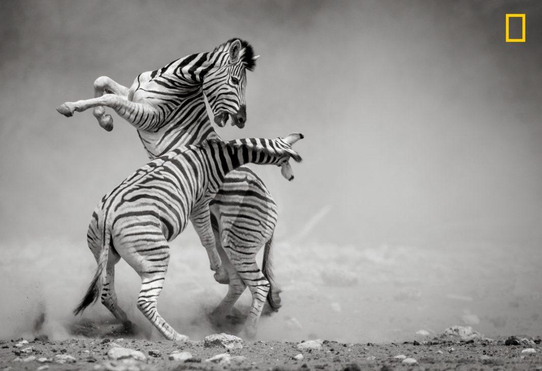 """Duas zebras lutando (© Sonalini Khetrapal/concurso """"Fotógrafo de Natureza do Ano"""" de 2017 da National Geographic)"""