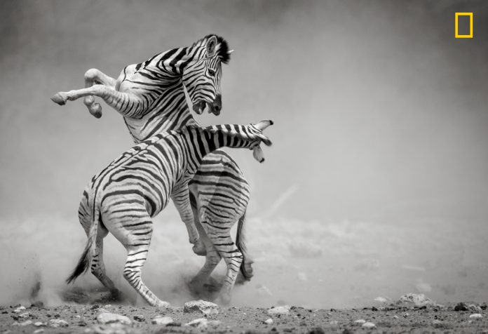 Two zebras fightding (© Sonalini Khetrapal/2017 National Geographic Nature Photographer of the Year)
