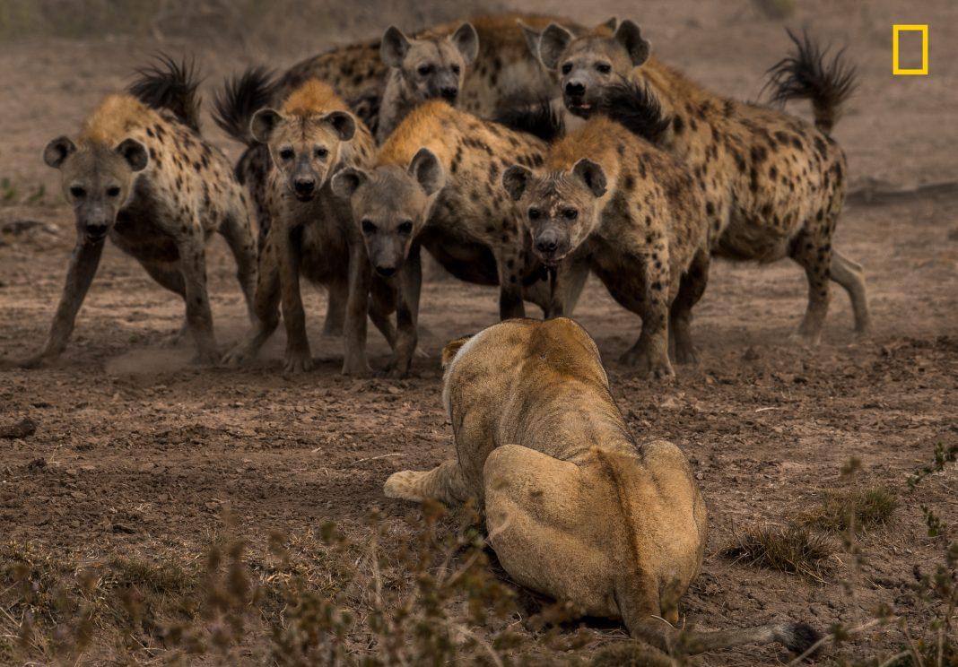 """Leoa agachada enfrenta uma alcateia de hienas (© Adam Zaff/concurso """"Fotógrafo de Natureza do Ano"""" de 2017 da National Geographic)"""