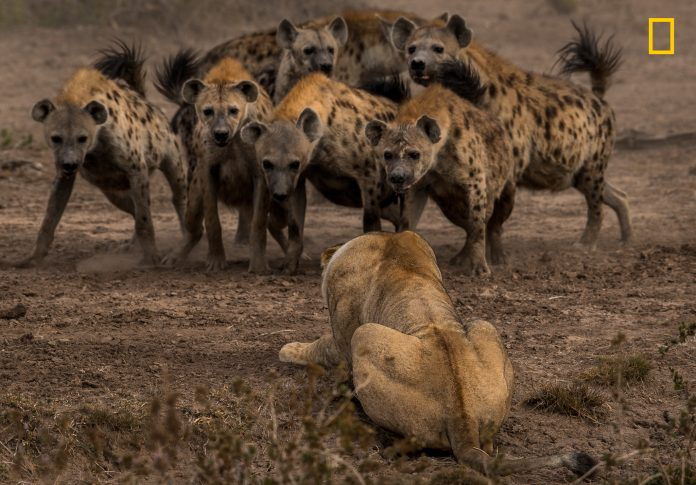 Lion crouched and facing pack of hyenas (© Adam Zaff/2017 National Geographic Nature Photographer of the Year)