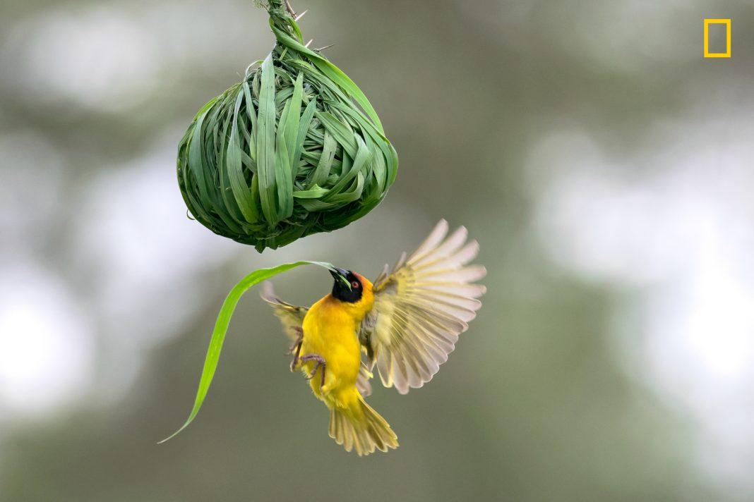 """Pássaro amarelo inserindo grama em ninho pendurado (© Federico Rizzato/concurso """"Fotógrafo de Natureza do Ano"""" de 2017 da National Geographic)"""