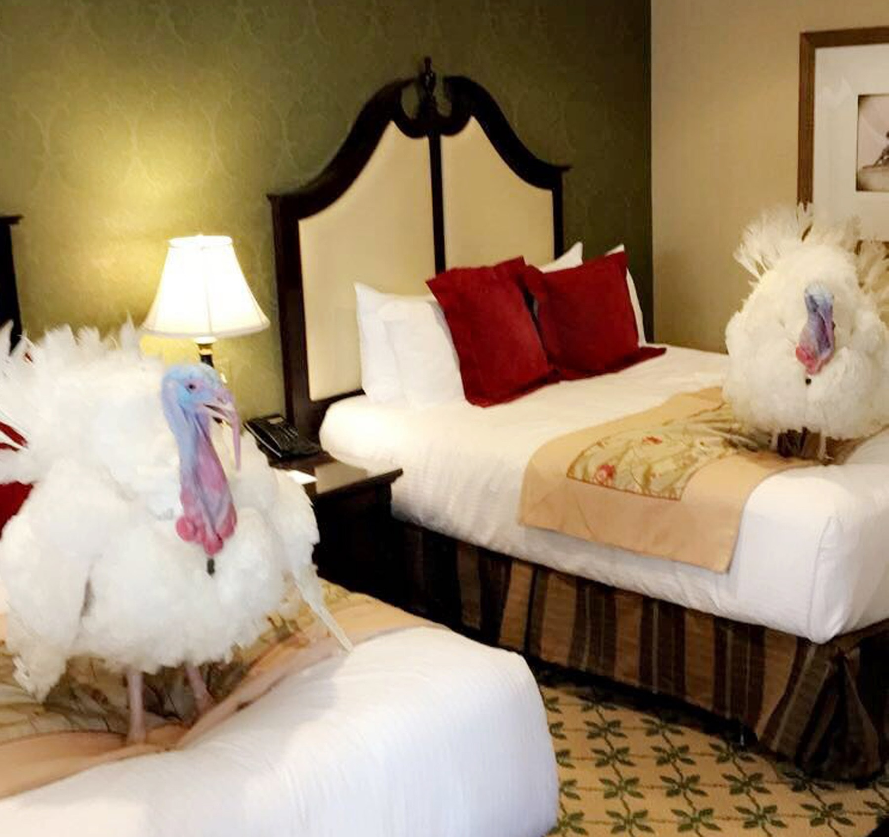 Two turkeys standing on hotel beds (White House via AP Images)