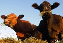 Two cows grazing on hay (© AP Images)