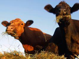 بقرتان تتغذيان على التبن (© AP Images)