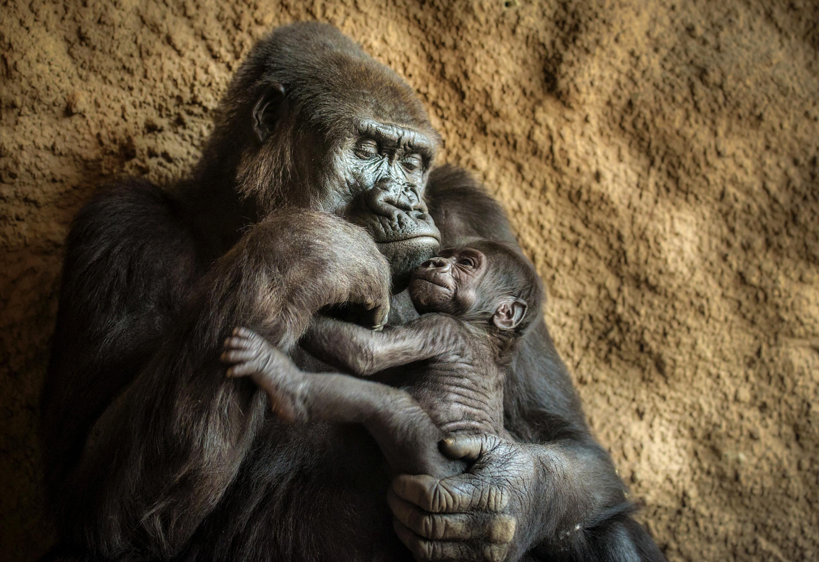 Gorila sostiene a una cría (Shutterstock)