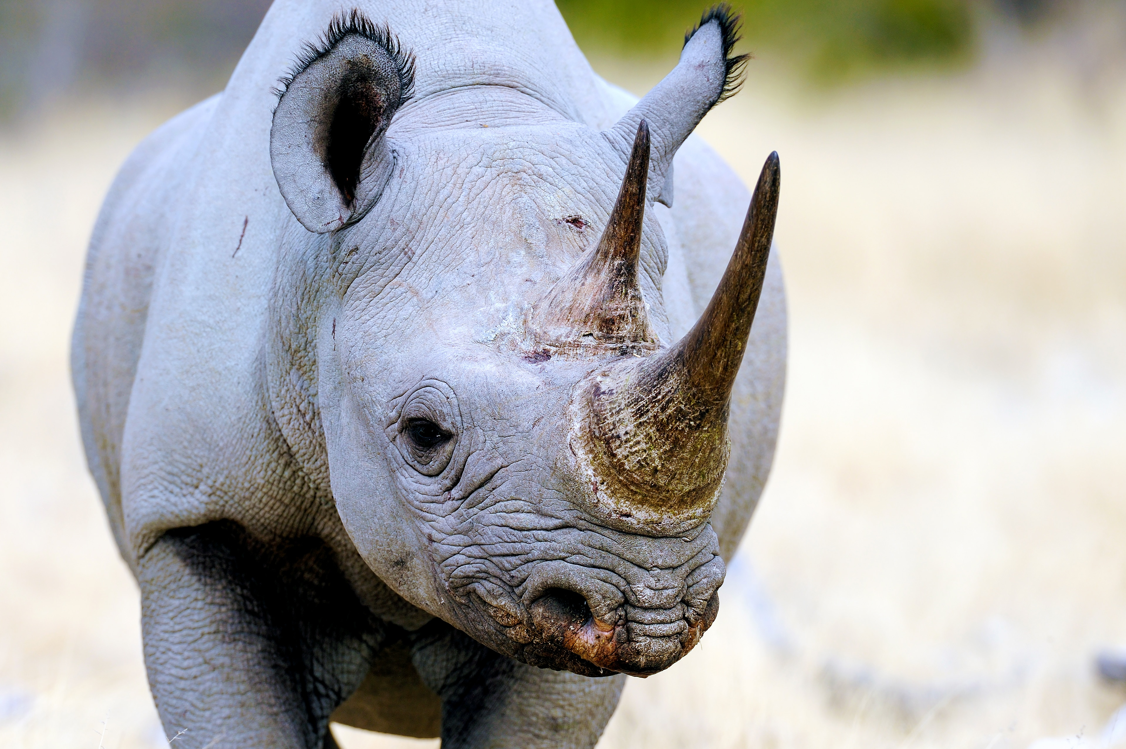 Rinoceronte (Shutterstock)