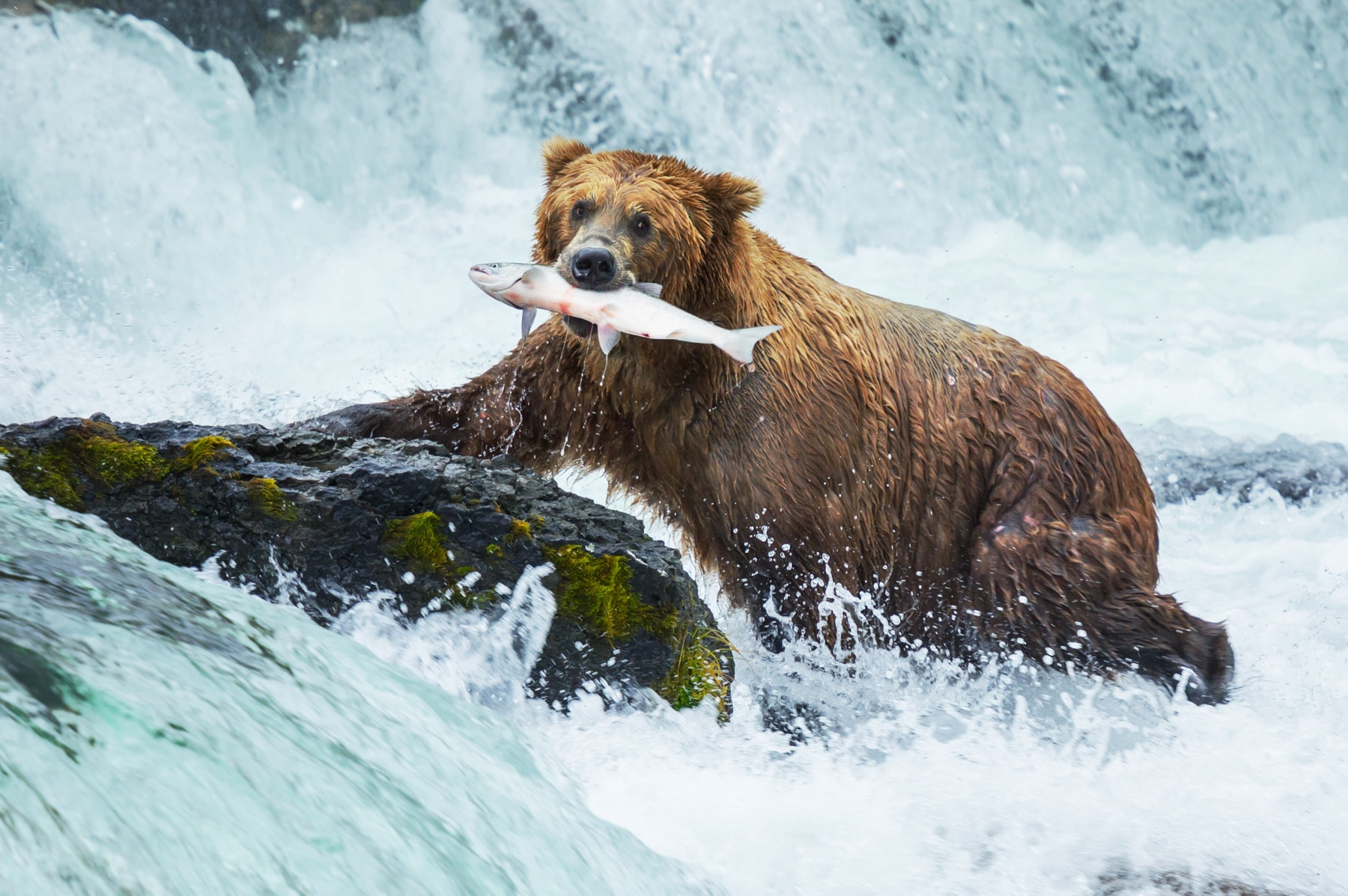 Brown bear catching salmon with his teeth in river (© Shutterstock)