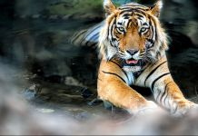 Tiger in water (Shutterstock)