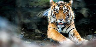 Tigre na água (Shutterstock)